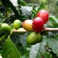 What Is Robusta Coffee ? Robusta Coffee Is One Of Coffee Bean Variety