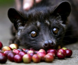 Amazing 8 Interesting Facts About Civet Coffee