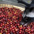 Asian Coffee Beans – Kopi Luwak From Indonesia