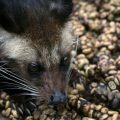 Kopi Luwak Civet Coffee – The Most Expensive Coffee