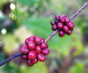 Different coffee beans – comprise granules of Arabica and Robusta?